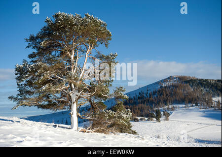 A majestic snow covered scots pine in a remote scottish glen with the hill of Ben Newe in the background - Stock Photo