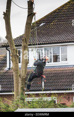A tree surgeon arboriculturist cutting down tree in a garden Skilled Worker Chainsaw Climbing - Stock Photo