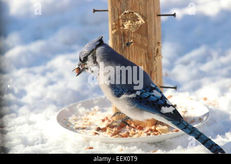 Blue Jay in Winter with peanut in mouth - Stock Photo