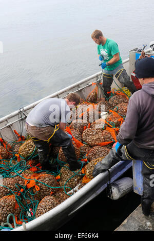 Clam, Taylor Shellfish Samish Farm Store, San Juan Islands, Puget Sound, Washington State - Stock Photo