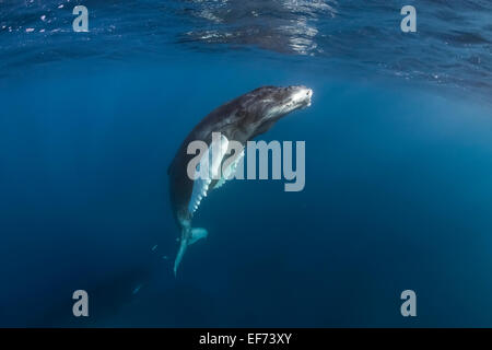 Humpback Whale (Megaptera novaeangliae), Silver Banks, Dominican Republic - Stock Photo