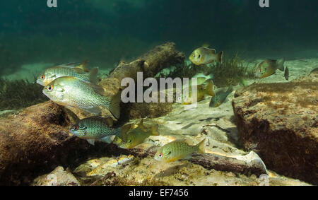 Pumpkinseed, Pumpkinseed Sunfish (Lepomis gibbosus) in Rainbow River, Florida, United States - Stock Photo