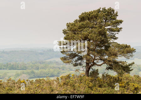 Lone pine tree on a ridge in Ashdown Forest. The area features in the children's books by AA Milne, featuring Winnie - Stock Photo