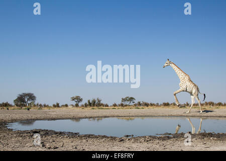 Africa, Botswana, Chobe National Park, Giraffe (Giraffa camelopardalis) leaps away from edge of Marabou Pan water - Stock Photo