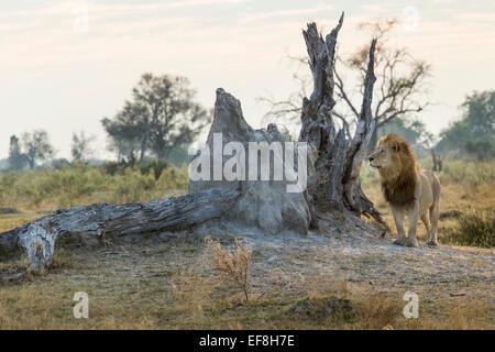 Africa, Botswana, Moremi Game Reserve, Adult Male Lion (Panthera leo) standing in morning sun in Okavango Delta - Stock Photo