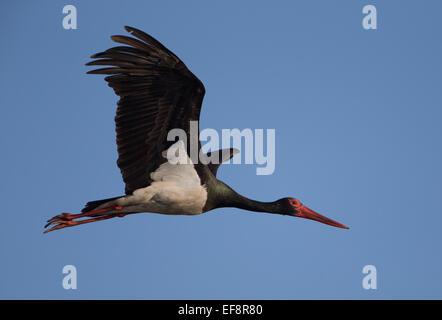 Black stork (Ciconia nigra) in flight - Stock Photo