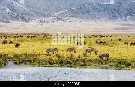 Herds of wildebeests and zebras in the Ngorongoro Crater, Tanzania - Stock Photo