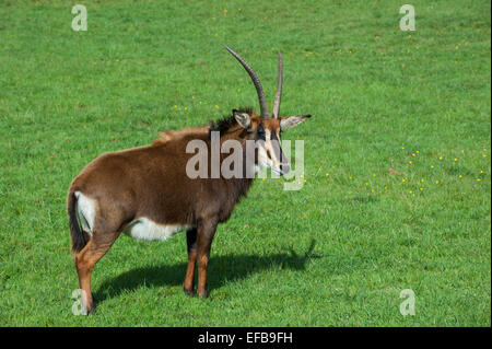 Sable antelope (Hippotragus niger) native to  East and Southern Africa - Stock Photo