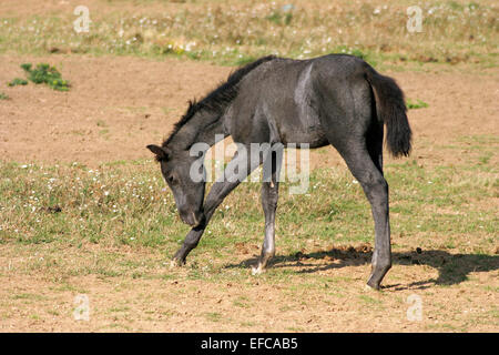 Beautiful gray filly on spring pasturage posing alone rural scene - Stock Photo