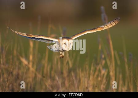 Barn Owl (Tyto alba) in flight, Norfolk, England - Stock Photo