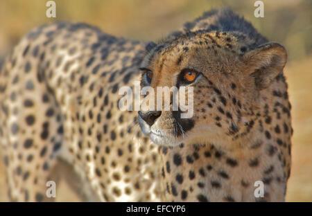 Cheetah Namibia - Stock Photo