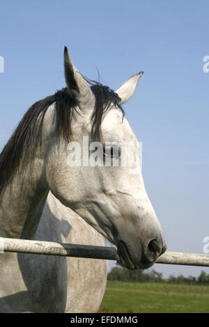 Close-up of a gray arabian horse in summer paddock - Stock Photo