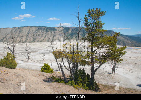 Pine trees grow on the rim of Mammoth Hot Springs in Yellowstone. - Stock Photo