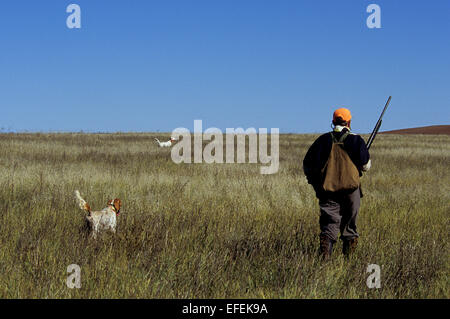 A grouse hunter approaches his English Setter dogs on point near Pierre South Dakota - Stock Photo