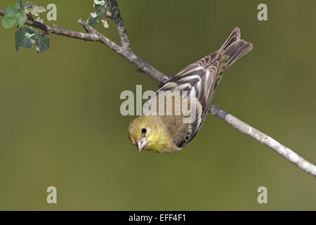 Lesser Goldfinch - Carduelis psaltria - Stock Photo