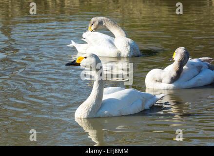 tundra swan or Bewicks swan (Cygnus columbianus) - Stock Photo