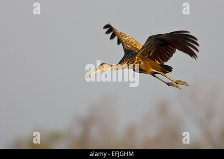 Limpkin - Aramus guarauna - Stock Photo