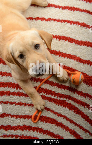 Cute yellow Labrador Golden Retriever mix puppy looking at camera while lying down on a carpet at home with his - Stock Photo