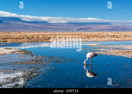 Closeup of an Andean Flamingo in Lake Chaxa near San Pedro de Atacama, Chile - Stock Photo
