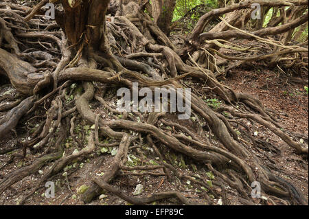 tangled roots of English Yew established on the sides and slopes of a wwii bomb crater in north downs bomb ally - Stock Photo