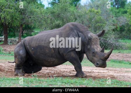 White rhinoceros, (Ceratotherium simum) getting up, Hlane Royal National Park, Swaziland - Stock Photo
