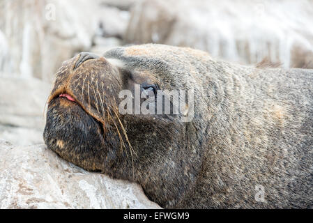 Closeup view of the face of a sea lion in Iquique, Chile - Stock Photo