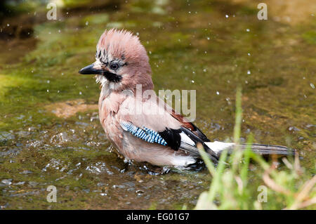 Eurasian Jay Garrulus glandarius bathing in garden pond - Stock Photo