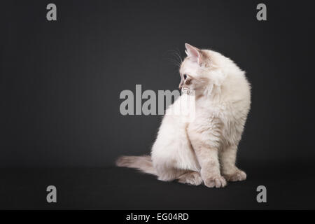 Siberian forest kitten isolated on black background - Stock Photo