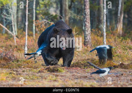 Big brown bear, Ursus arctos coming out from forest and crows are running away, Kuhmo, Finland - Stock Photo