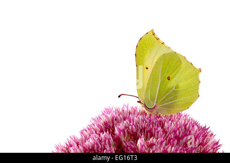 brimstone butterfly Gonepteryx rhamni on sedum plant - Stock Photo