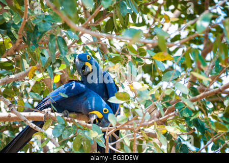A Pair of  Hyacinth Macaws, Anodorhynchus hyacinthinus, perched in a tree, Pantanal, Mato Grosso, Brazil, South - Stock Photo