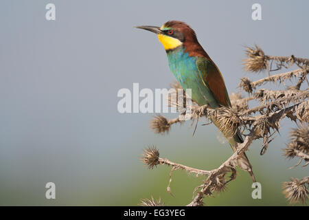 European Bee-eater sitting on bush. - Stock Photo