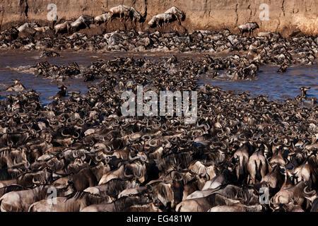Eastern White-bearded Wildebeest (Connochaetes taurinus) herd crossing the Mara River clambering up steep bank. - Stock Photo