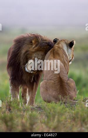 Lion (Panthera leo) male nuzzling lioness Masai Mara National Reserve Kenya July - Stock Photo