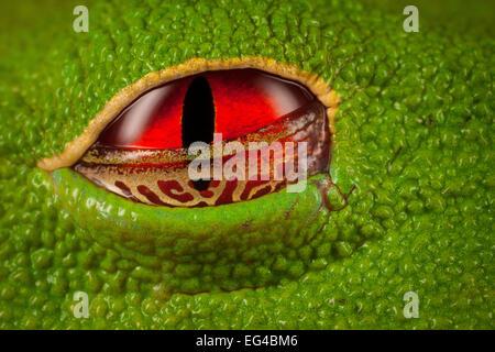 Red-eyed Tree Frog (Agalychnis callidryas) close- up eye half open the golden webbed semi-transparent eyelid allows - Stock Photo