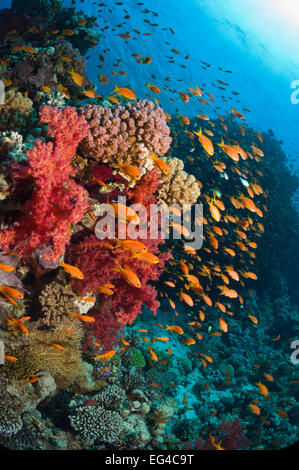 Lyretail anthias / Goldies (Pseudanthias squamipinnis) over coral reef soft corals (Dendronephthya sp) Egypt Red - Stock Photo