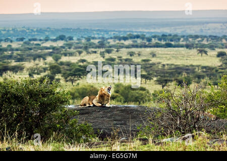 Lion lying on rocks and roars on savanna at sunset. Safari in Serengeti, Tanzania, Africa - Stock Photo