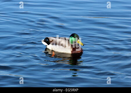 A male mallard duck swimming in a lake. - Stock Photo