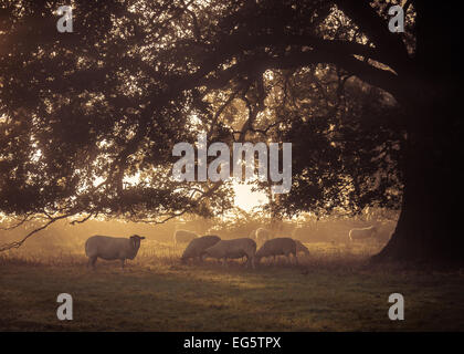 Grazing under the tree - An early autumn morning sees a small flock of sheep grazing in the morning mist, - Stock Photo