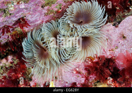 Tube worms (Bispira volutacornis) living between rocks covered in Crustose coralline (Corallinaceae) and red algae - Stock Photo