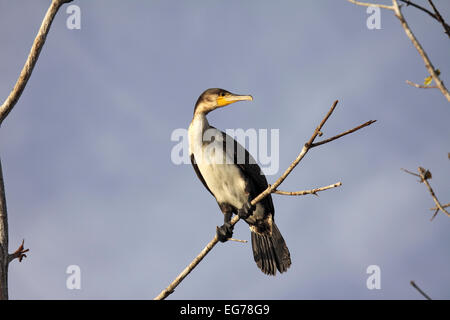 Great cormorant roosting in mangrove nesting site on the River Gambia - Stock Photo