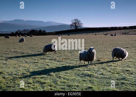 Sheep flock in bright morning sun in Wales (Brecon Beacons National Park) - Stock Photo