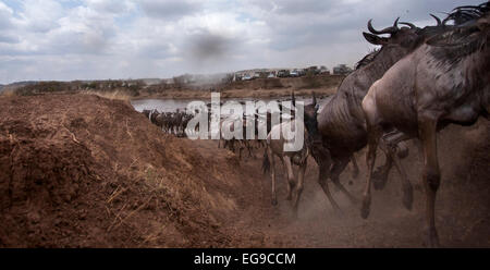 Eastern white-bearded wildebeest (Connochaetes taurinus) herd crossing the Mara River watched by tourists. Masai - Stock Photo