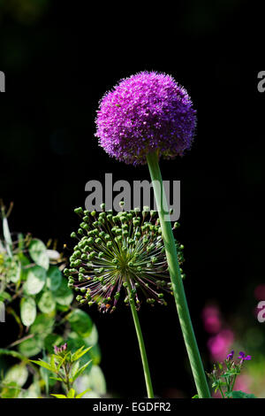 Flowering Allium, Jardins de Claude Monet, Giverny, Normandy, France - Stock Photo