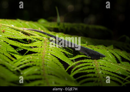 Black feather lying on a fern leaf in the bush near Paihia, Northlands, New Zealand. - Stock Photo
