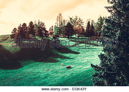 Elevated view of sheep grazing on green pasture - Stock Photo