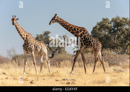 Side view of two giraffe walking - Stock Photo