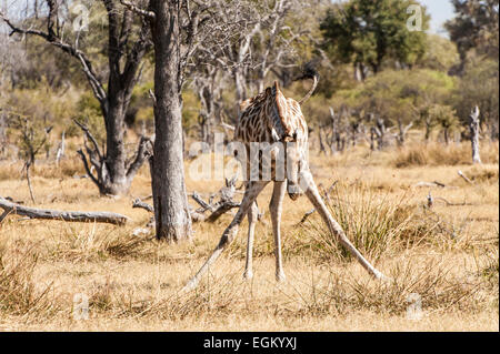 Front View of giraffe, legs apart, grazing - Stock Photo