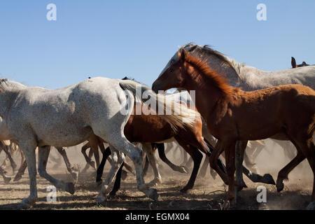 Herd of wild horses running free. - Stock Photo