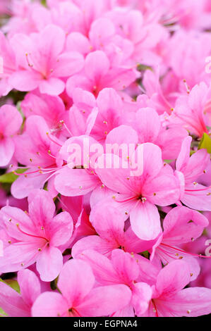 Japanese azalea, Rhododendron 'Hinomayo', Top view of many pink flowers creating a pattern. - Stock Photo